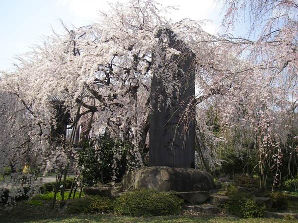 府中名所「東郷寺のしだれ桜」
